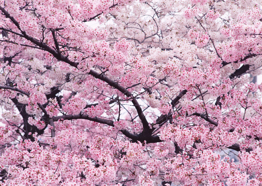 cherry_trees_in_highdefinition_images